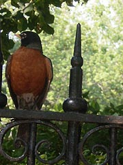 [photo, American Robin (Turdus migratorius) on Government House fence, Annapolis, Maryland]