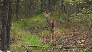 [photo, Young White-tailed Deer (male), Glen Burnie, Maryland]