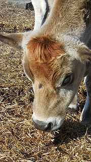 [photo, Cow, Kinder Farm Park, Millersville, Maryland]