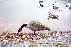 [photo, Canada geese, Lake Waterford Park, Pasadena (Anne Arundel County), Maryland]