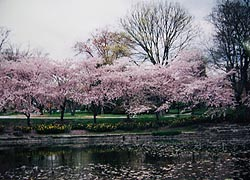[photo, Cherry trees in blossom, Springlake Way, Homeland, Baltimore, Maryland]