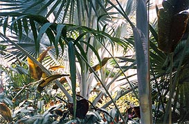 [photo, Palms, Howard P. Rawlings Conservatory & Botanic Gardens, Druid Hill Park, 3100 Swan Drive, Baltimore, Maryland]