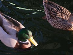 [photo, Mallards (Anas platyrhynchos), Inner Harbor, Baltimore, Maryland]