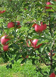 [photo, Pink Lady apples, Thurmont, Maryland]