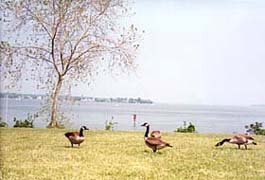[photo, Canada geese near Patuxent River, St. Mary's County, Maryland]