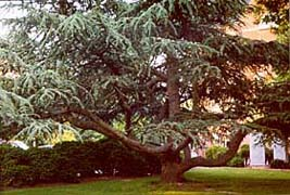 [photo, Pine tree on Courthouse grounds, North Washington St., Easton, Maryland]