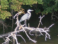 [photo, Great Blue Heron (Ardea herodias), College Creek, Annapolis, Maryland]