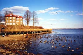 [photo, Mallards on Susquehanna River, Havre de Grace, Maryland]