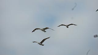 [photo, Seagulls, Ocean City, Maryland]
