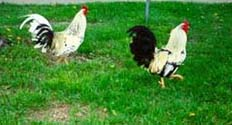 [photo, Roosters, Annapolis, Maryland]